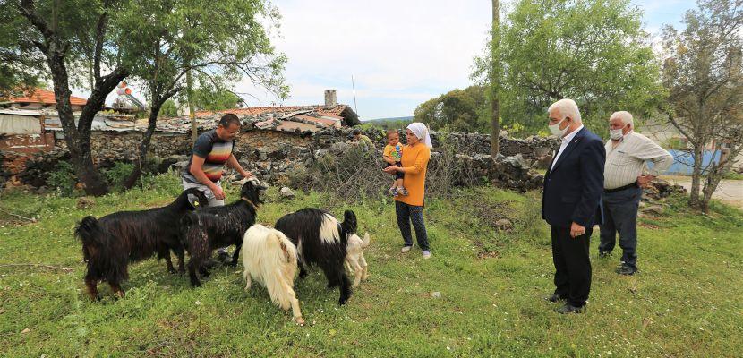 Muğla Büyükşehir Belediyesi üç ilçede kıl keçisi dağıtacak